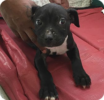 Pit Bull Terrier Mix Puppy for adoption in Newark, New Jersey - Curly