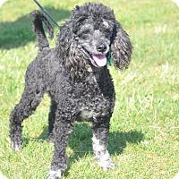 Adopt A Pet :: Louie - Tumwater, WA