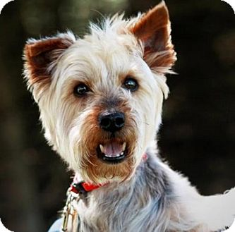 Silky Terrier Dog for adoption in Union Grove, Wisconsin - Sparky - ADOPTION PENDING