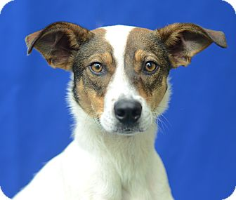 Terrier (Unknown Type, Medium) Mix Dog for adoption in LAFAYETTE, Louisiana - STEVIE