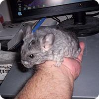 Adopt A Pet :: Itsy - Avondale, LA