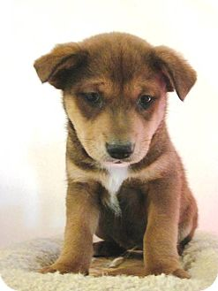 Shepherd (Unknown Type) Mix Puppy for adoption in Olympia, Washington - Opal