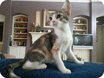 Domestic Shorthair Kitten for adoption in Bulverde, Texas - Annie 3