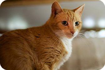 Domestic Shorthair Cat for adoption in Charlotte, North Carolina - Sunsine