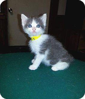 Domestic Longhair Kitten for adoption in Putnam, Connecticut - Kismet