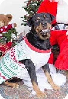 Rottweiler Mix Dog for adoption in Darlington, South Carolina - Ace