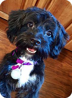 Shih Tzu/Poodle (Miniature) Mix Dog for adoption in Lisbon, Iowa - Carly