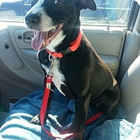 Adopt A Pet :: Lacy - Knoxville, TN