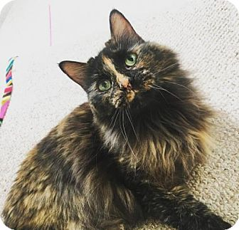 Domestic Longhair Cat for adoption in Baltimore, Maryland - Zero