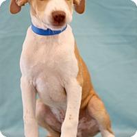 Adopt A Pet :: Baxter - Waldorf, MD