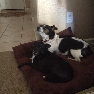 Jack Russell Terrier/Chihuahua Mix Dog for adoption in Phoenix, Arizona - Bella & Lyla