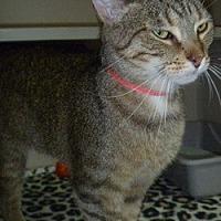 Domestic Shorthair Cat for adoption in Hamburg, New York - Rena