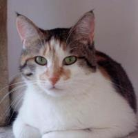Domestic Shorthair/Domestic Shorthair Mix Cat for adoption in Hayward, Wisconsin - Priscilla