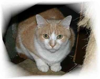 Domestic Shorthair Cat for adoption in Montgomery, Illinois - Rocky