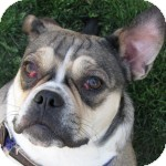 English Bulldog/Pug Mix Dog for adoption in Eatontown, New Jersey - Karlee