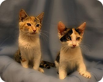 Domestic Shorthair Kitten for adoption in Richmond, Virginia - Honey Boo Boo and Chickadee