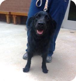 Labrador Retriever Mix Dog for adoption in Columbus, Georgia - Rukus 7702