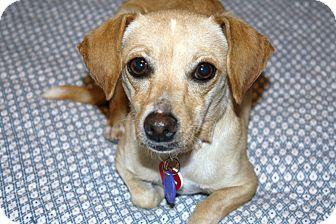 Dachshund/Italian Greyhound Mix Dog for adoption in Bellflower, California - Tawny
