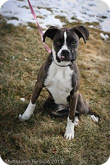 Boxer Mix Puppy for adoption in Broomfield, Colorado - Blossom