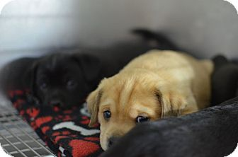 Labrador Retriever Mix Puppy for adoption in Rochester, New Hampshire - Jack and Jill