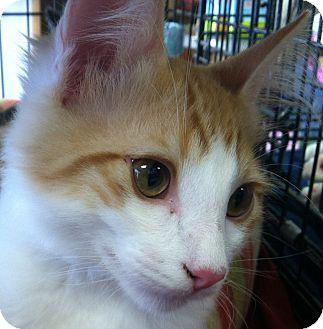 Domestic Mediumhair Kitten for adoption in Winchester, California - Lightning
