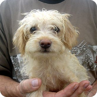 Toy Poodle/Terrier (Unknown Type, Small) Mix Puppy for adoption in Greencastle, North Carolina - Buttercup
