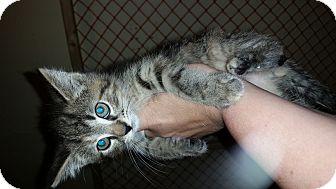 Domestic Mediumhair Kitten for adoption in Battle Creek, Michigan - Maty
