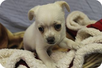 Chihuahua Mix Puppy for adoption in Waldorf, Maryland - Marla
