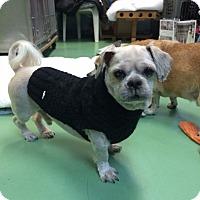 Adopt A Pet :: Spanky - New York, NY
