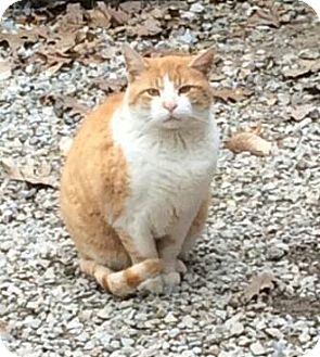 Domestic Shorthair Cat for adoption in E. Claridon, Ohio - PRINCE