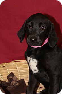 Labrador Retriever/Hound (Unknown Type) Mix Puppy for adoption in Waldorf, Maryland - Yolanda