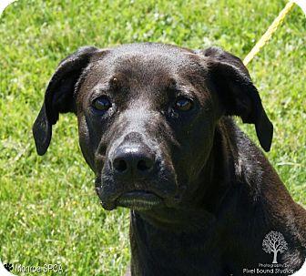 Labrador Retriever Mix Dog for adoption in Monroe, Michigan - Junebug