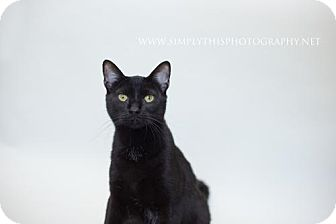 Domestic Shorthair Cat for adoption in Valley Falls, Kansas - Cher