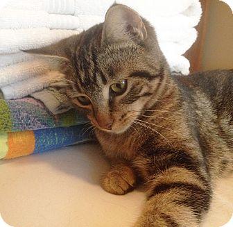 Domestic Shorthair Kitten for adoption in Lombard, Illinois - Chequita