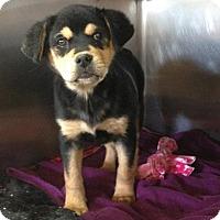 Adopt A Pet :: Leslie - Millersville, MD
