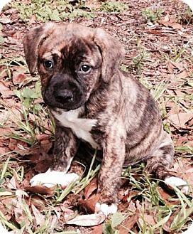 Shepherd (Unknown Type) Mix Puppy for adoption in Gainesville, Florida - Sili