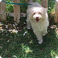 Adopt A Pet :: Nicole - Toluca Lake, CA