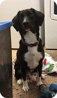 Beagle/Australian Cattle Dog Mix Dog for adoption in Sterling Heights, Michigan - Killeen