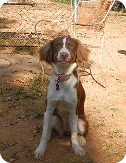 Border Collie/Brittany Mix Dog for adoption in North Wilkesboro, North Carolina - Amara