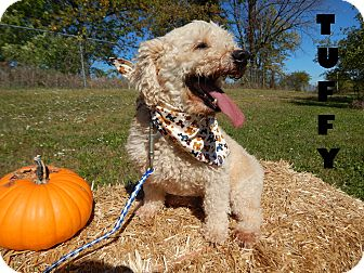 Miniature Poodle Mix Dog for adoption in Bucyrus, Ohio - Tuffy