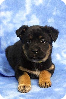 Shepherd (Unknown Type) Mix Puppy for adoption in Westminster, Colorado - HAPPY