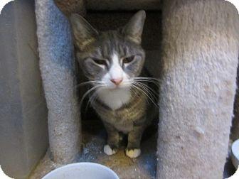 Domestic Shorthair Cat for adoption in Kingston, Washington - Bella