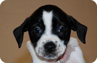 Boxer/Siberian Husky Mix Puppy for adoption in Salem, West Virginia - Louisiana