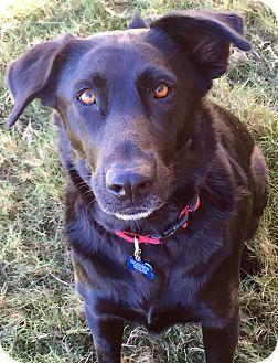 Labrador Retriever/Shepherd (Unknown Type) Mix Dog for adoption in Redmond, Washington - Yoda