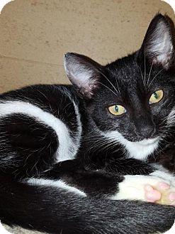 Domestic Shorthair Kitten for adoption in Fishkill, New York - Marina