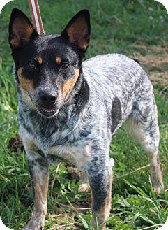 Australian Cattle Dog Mix Puppy for adoption in Macomb, Illinois - Bindi