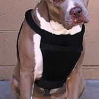 Adopt A Pet :: Beauty - Gilbert, AZ