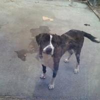 St. Bernard/Boxer Mix Dog for adoption in Maryville, Tennessee - Goober
