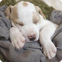 Pit Bull Terrier Mix Puppy for adoption in Alpharetta, Georgia - SgtBarkowitz