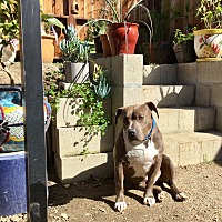 American Staffordshire Terrier/American Pit Bull Terrier Mix Dog for adoption in Hermosa, California - Amazing Blue Enzo